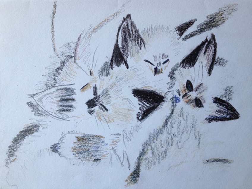 Louise Freeman copyright Birman kittens